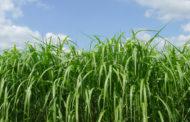Jenis Rumput Pakan Ternak Terbaik Yang Sering Kita Jumpai