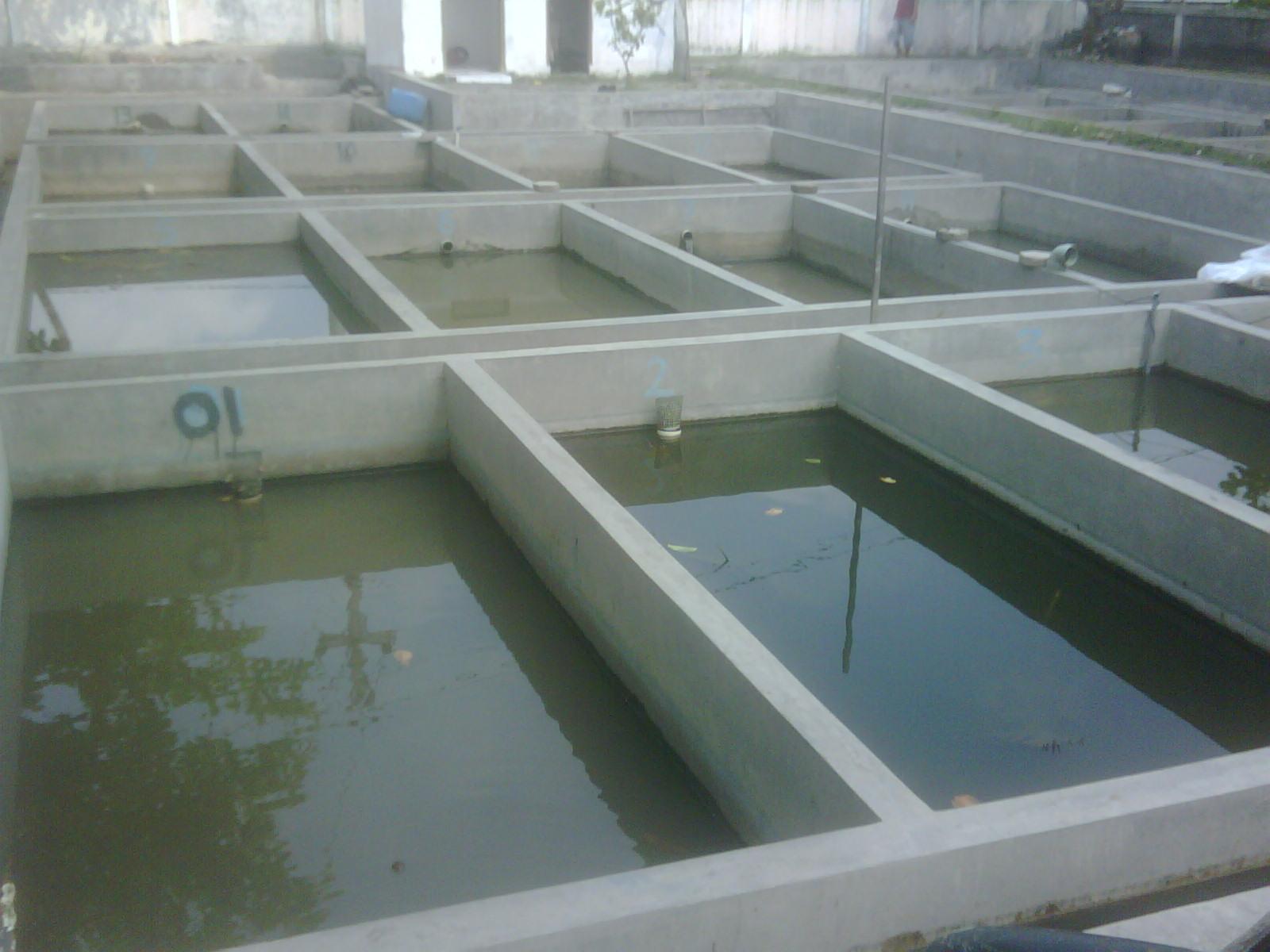 Cara Ternak Ikan Gurame Di Kolam Beton