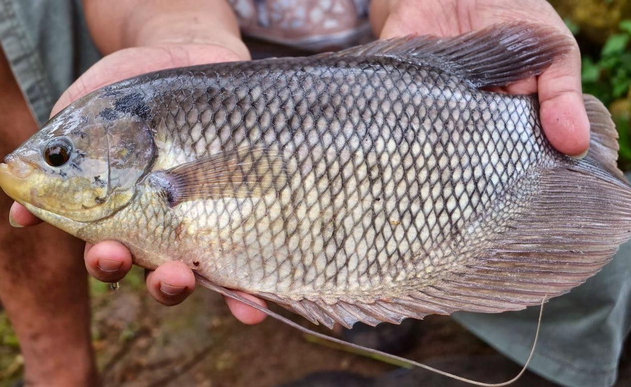 Cara Ternak Ikan Gurame Di Kolam Beton Yang Ramai Di Perbincangkan