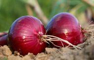 Budidaya Bawang Merah Bermutu Hingga Proses Pemanenan